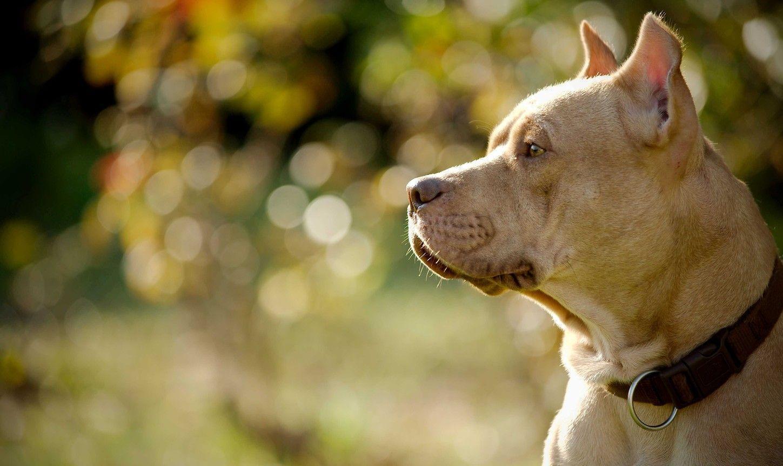 Pitbull Dog Wallpapers - Wallpaper Cave