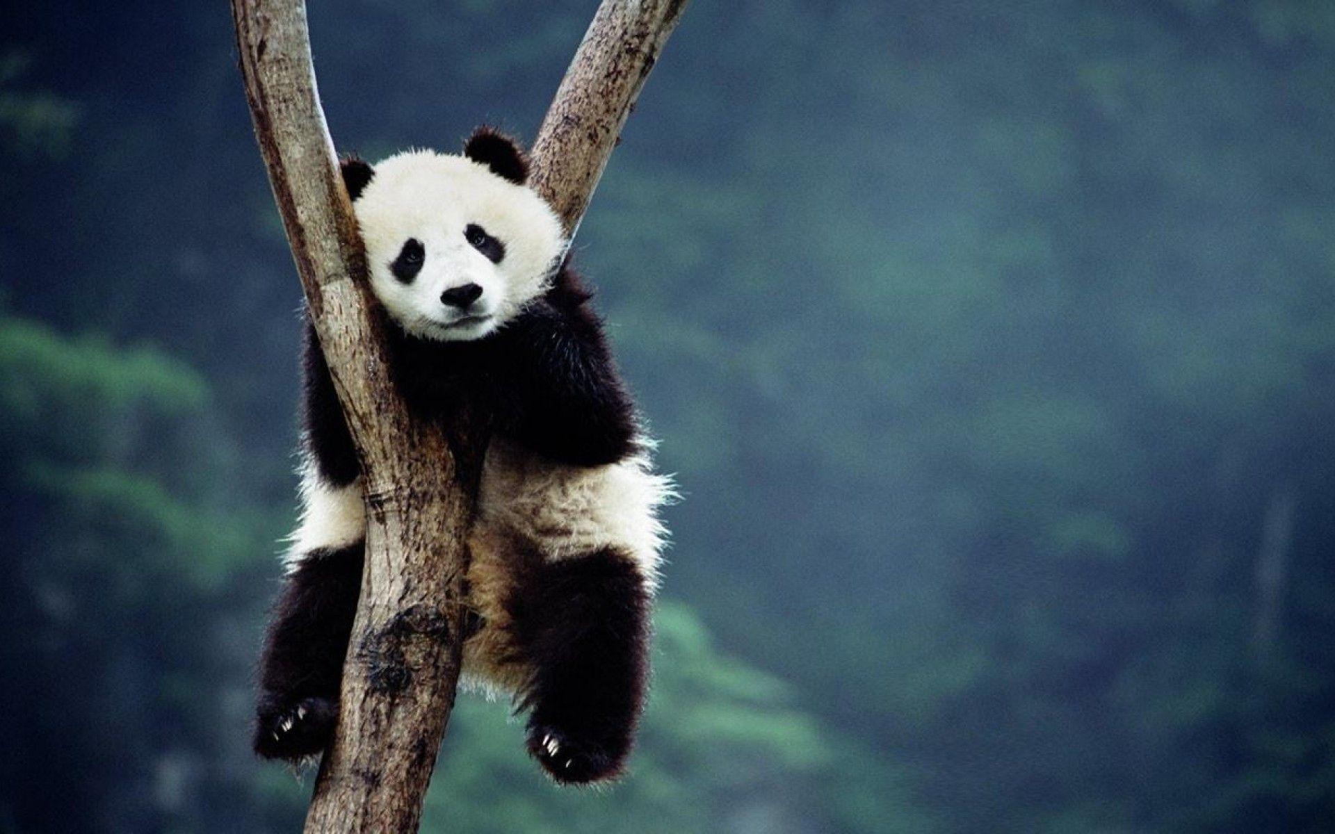 Panda Wallpapers Wallpaper