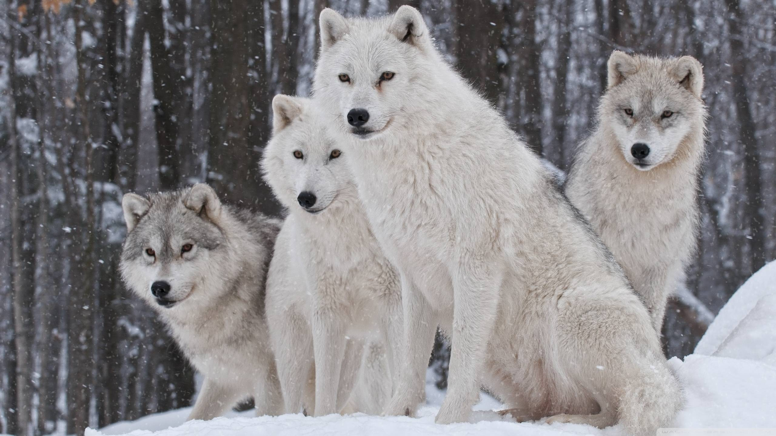 Wolfpack Wallpapers - Wallpaper Cave - photo#2