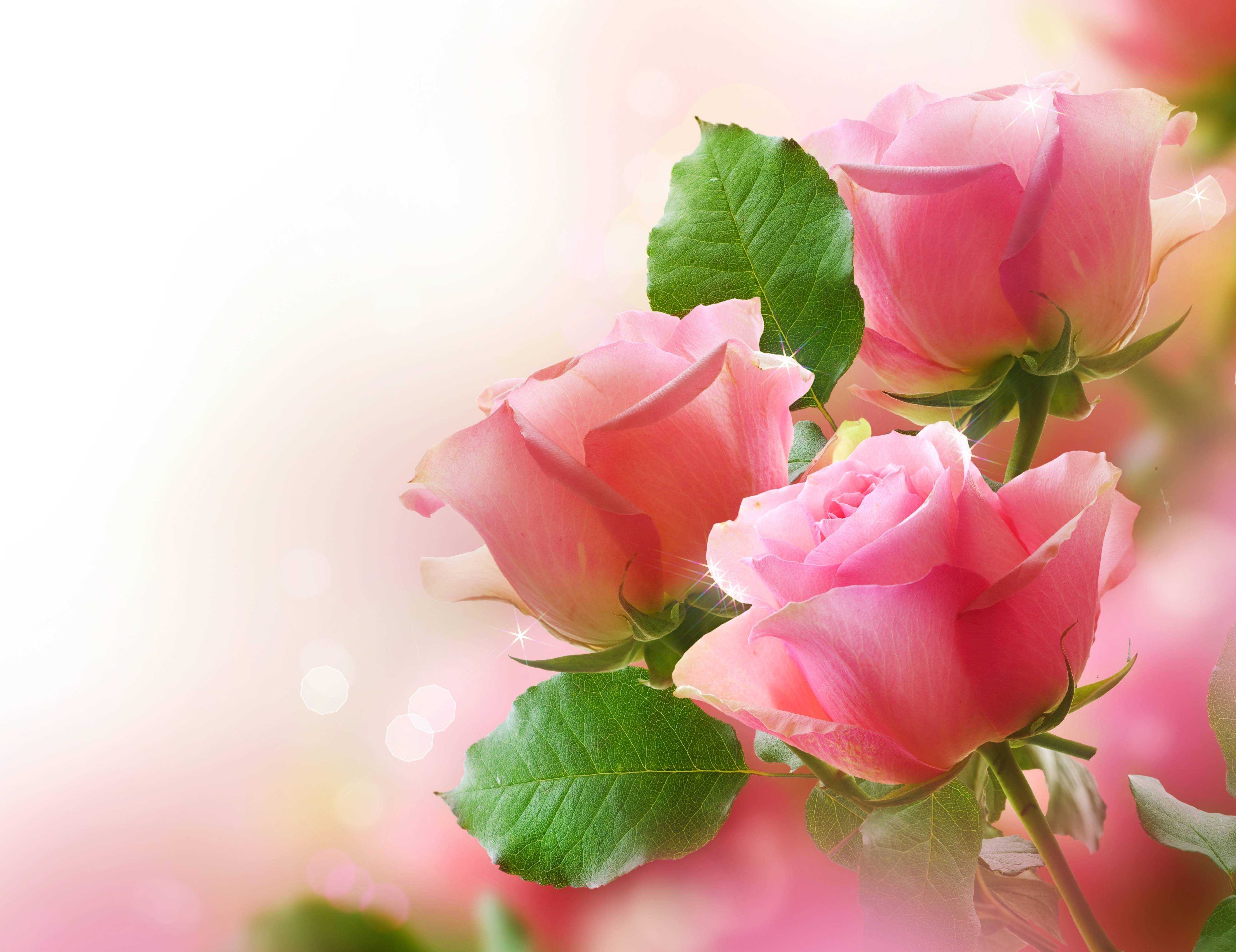 Pink Rose Wallpapers