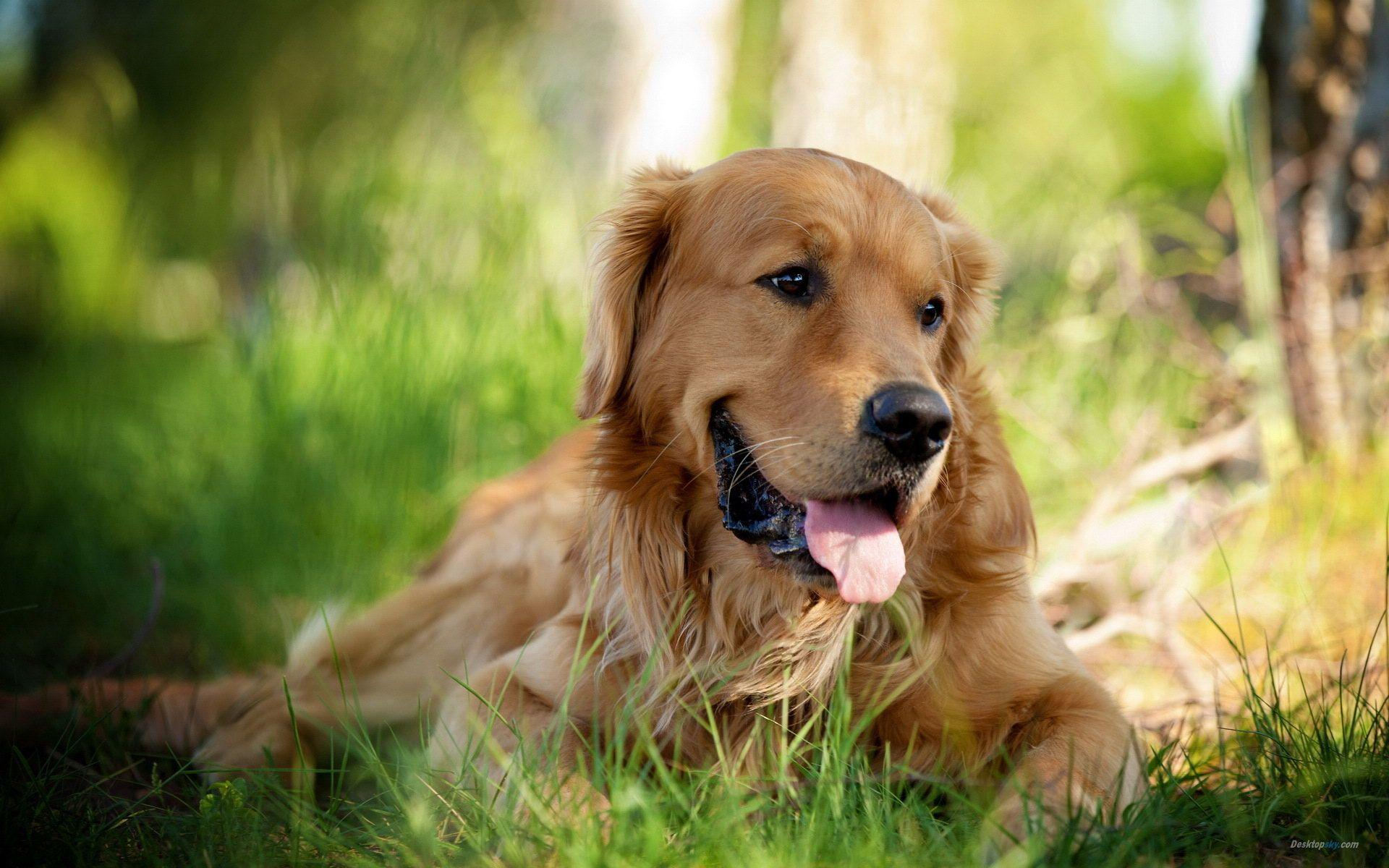 Wallpapers For > Golden Retriever Puppy Wallpaper Hd