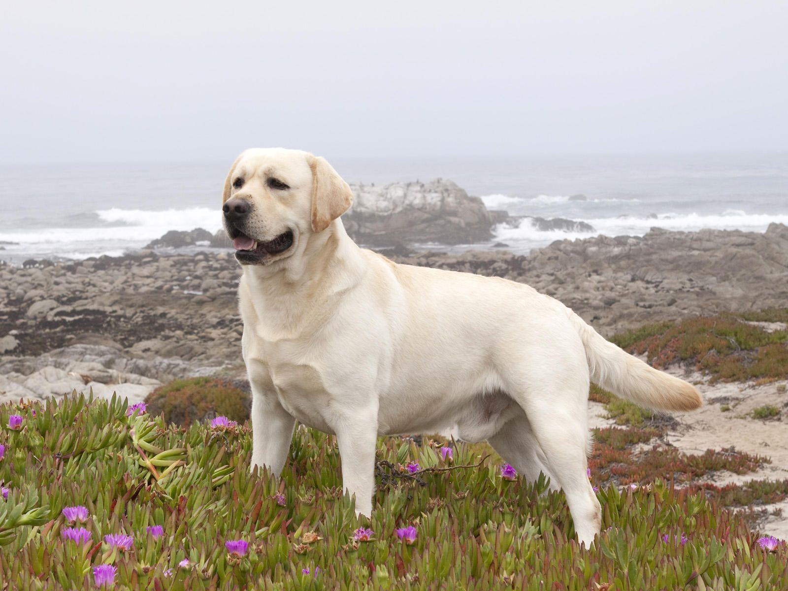 Yellow Labrador Retriever Wallpaper Images & Pictures - Becuo