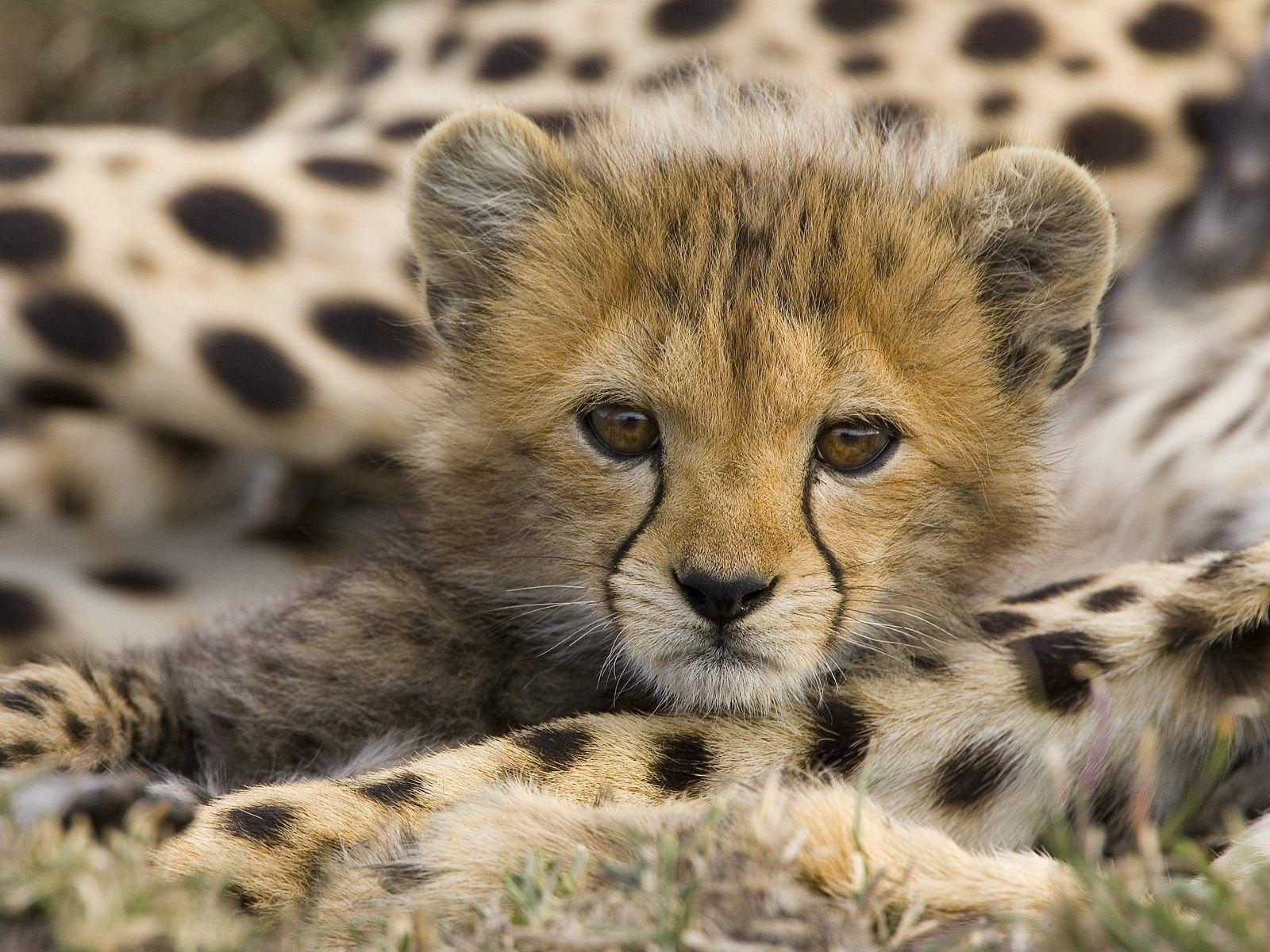 Face Cute Cheetah Wallpaper #5517 Wallpaper | Wallpaper Screen ...