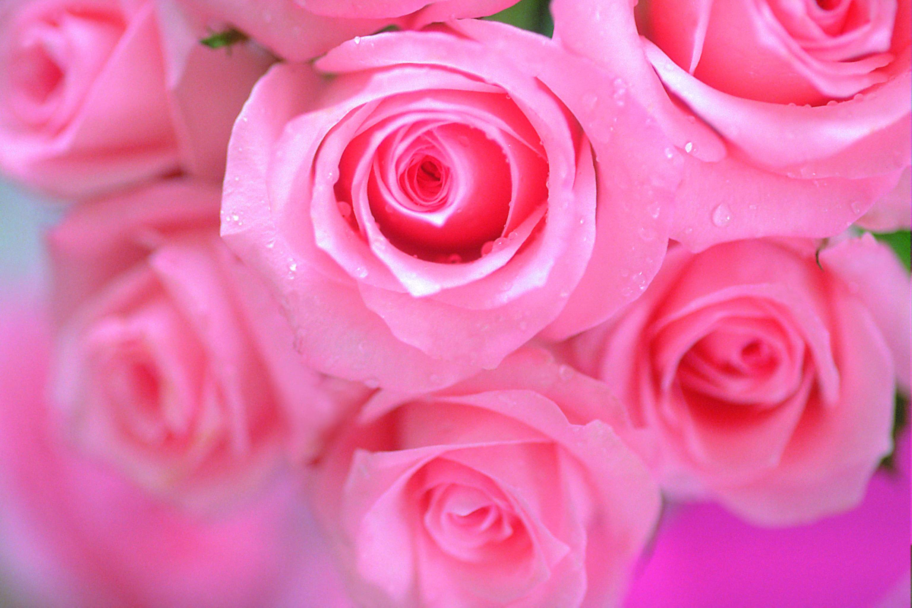 Pink rose flower wallpapers wallpaper cave pink rose flower hd wallpapers hdesktops mightylinksfo