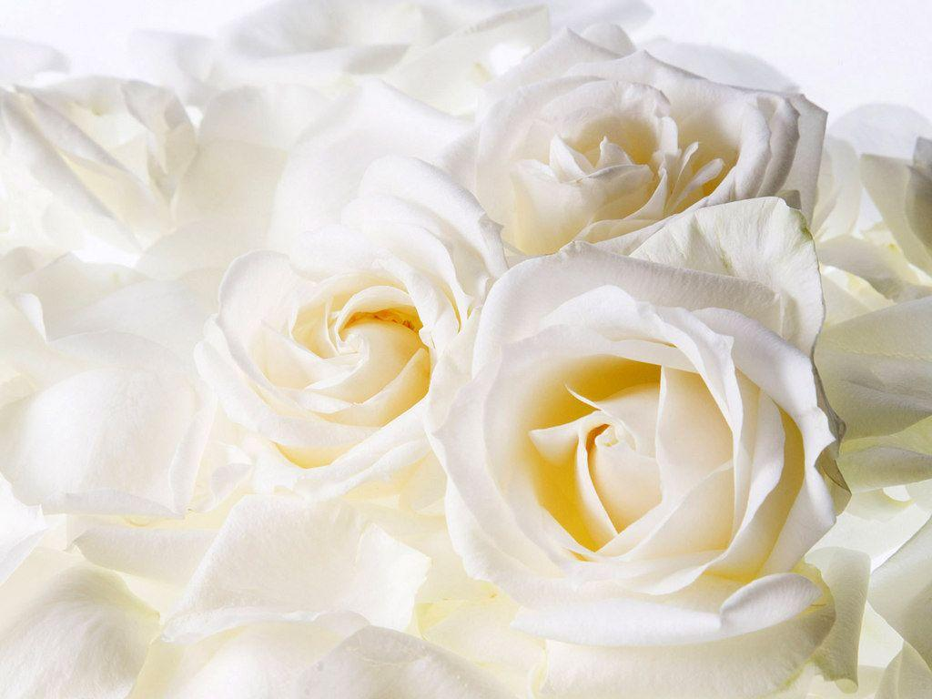 Wallpapers For > Tumblr Backgrounds White Roses
