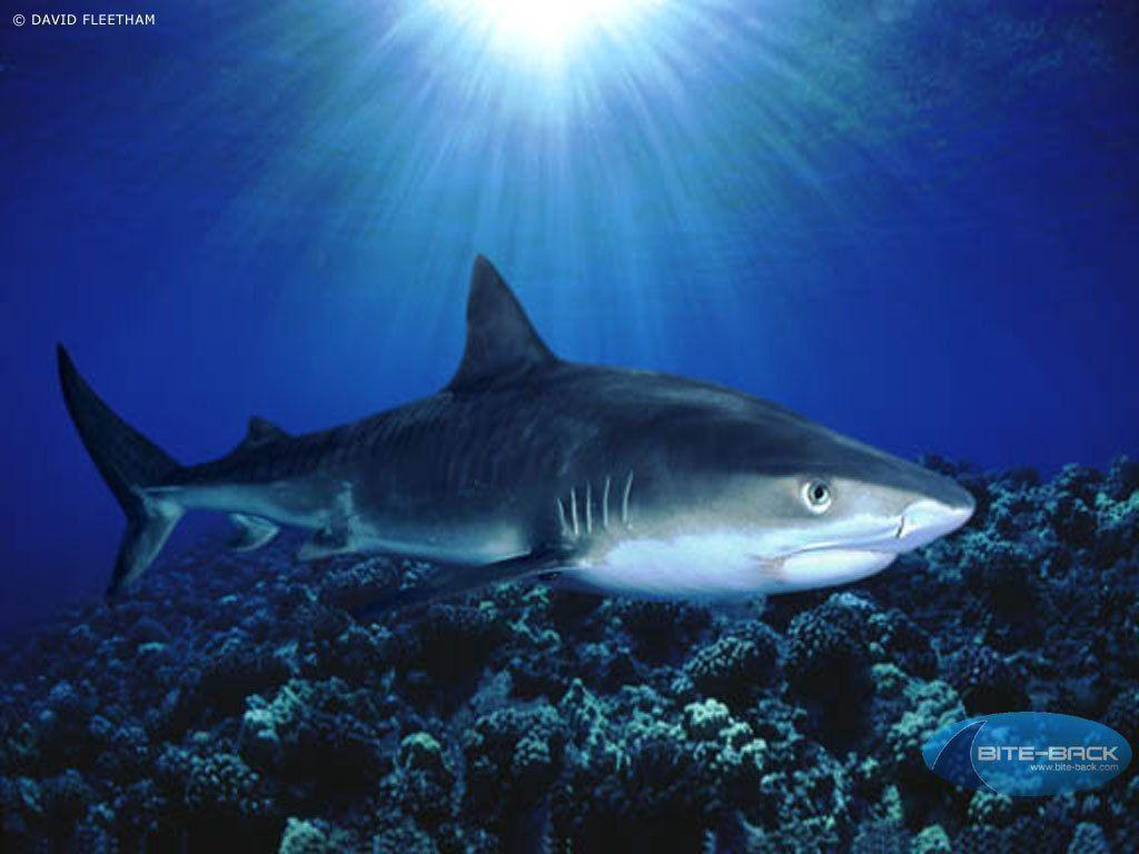 the great white shark essay example (johnson-delaney, 2006)it is a highly complex structure that processes and  digests food, largely with the help of bacteria [tags: rabbit, the great white shark ,.