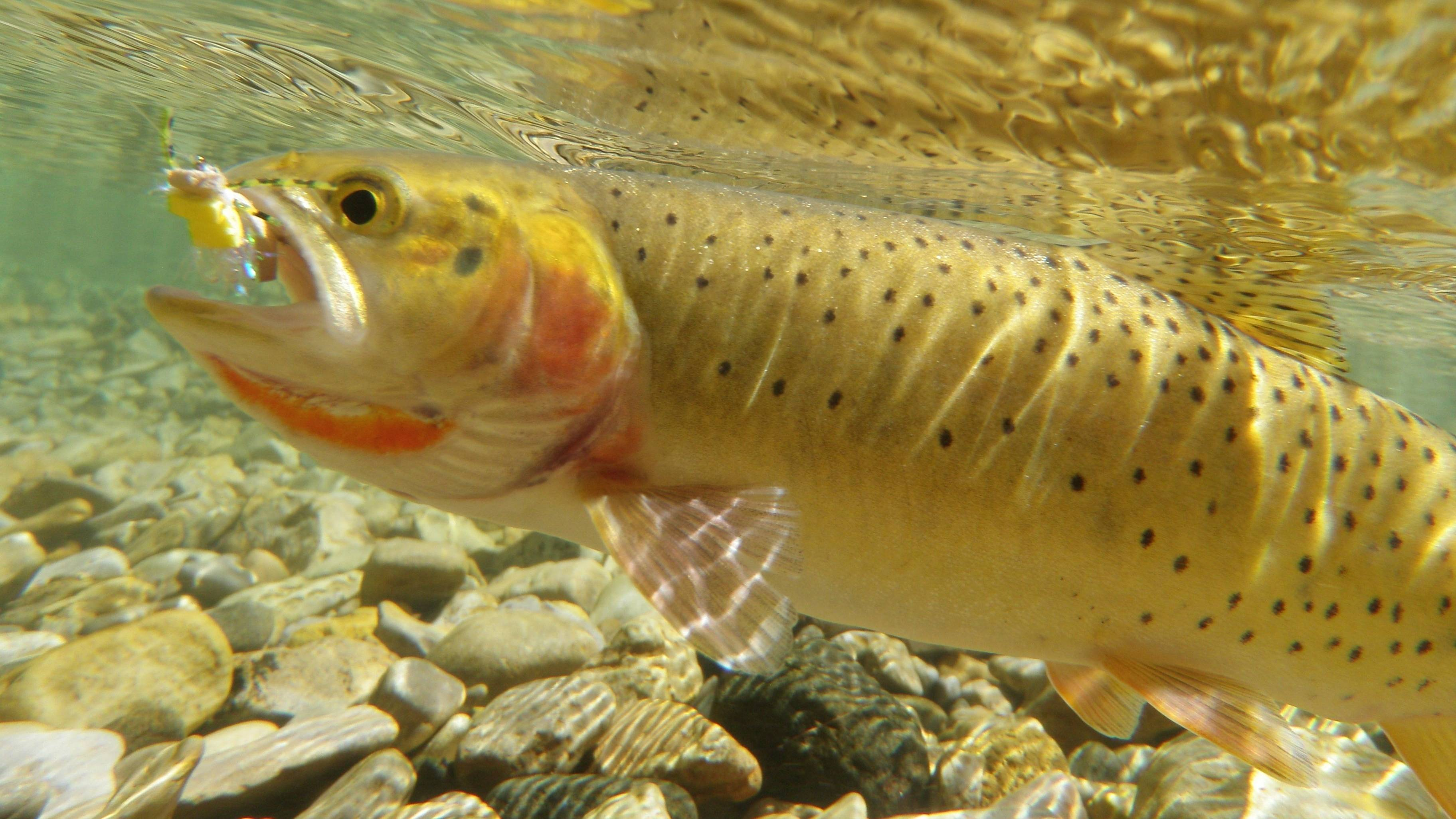 trout fly fishing wallpaper - photo #34