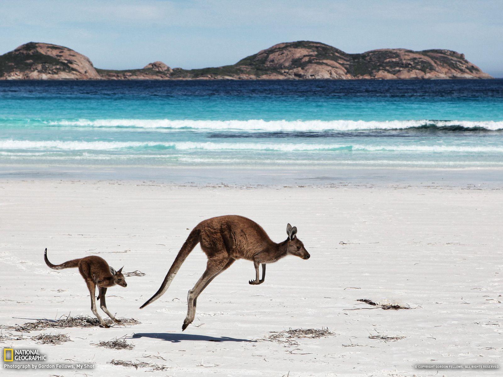 Kangaroo Picture -- Animal Wallpaper -- National Geographic Photo ...