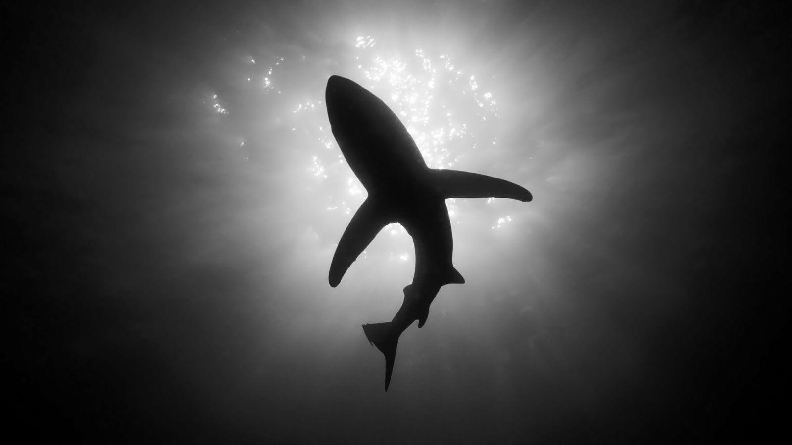 Download Black And White Shark Animals Wallpapers 1600x900