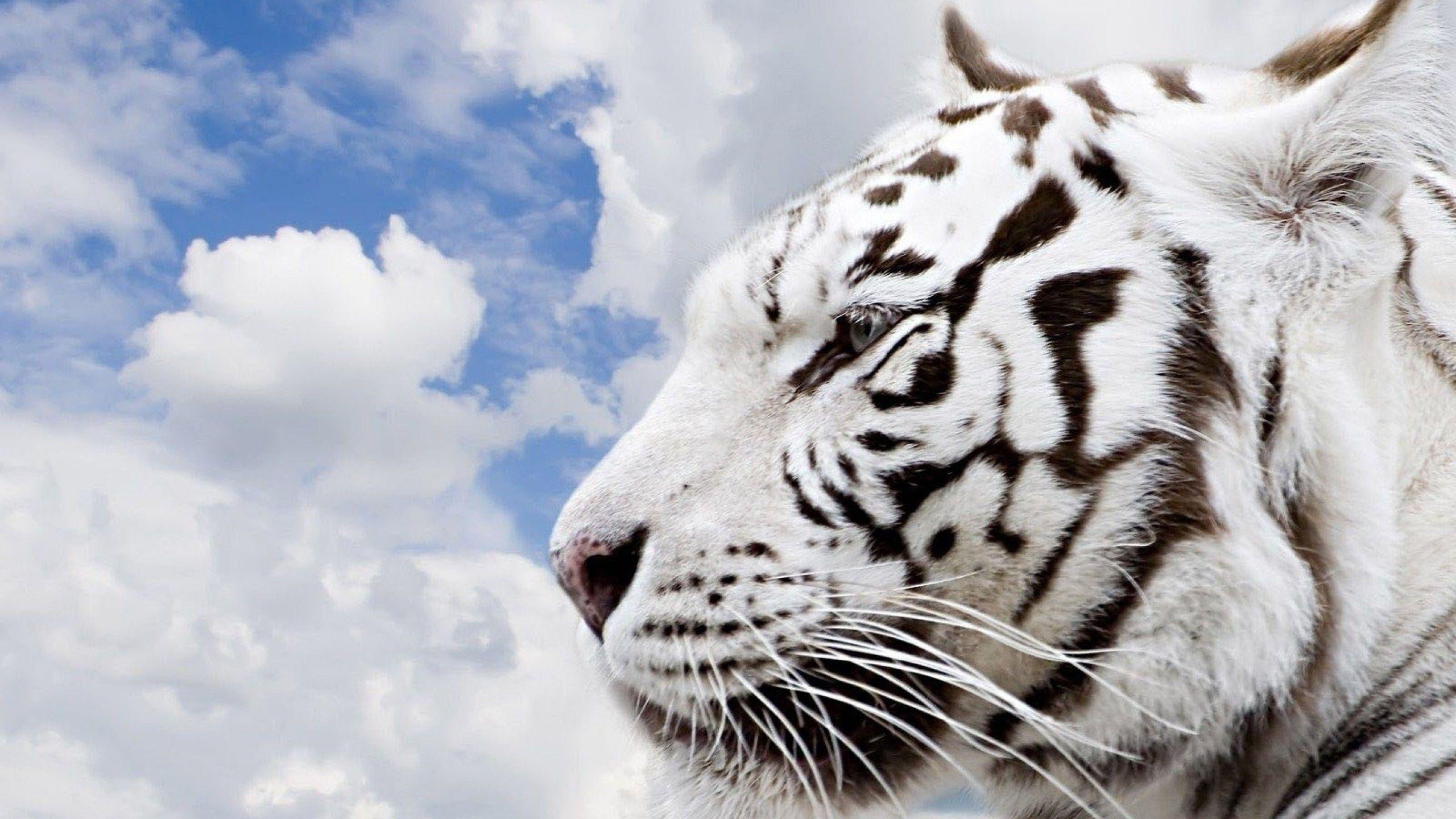 white siberian tiger - photo #9
