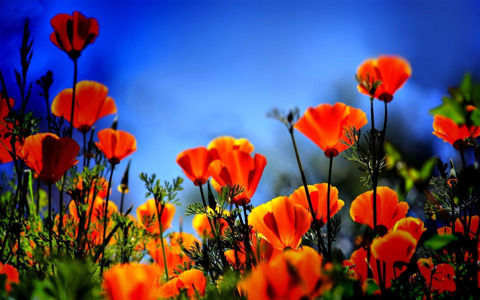 Poppies Wallpapers Wallpaper Cave