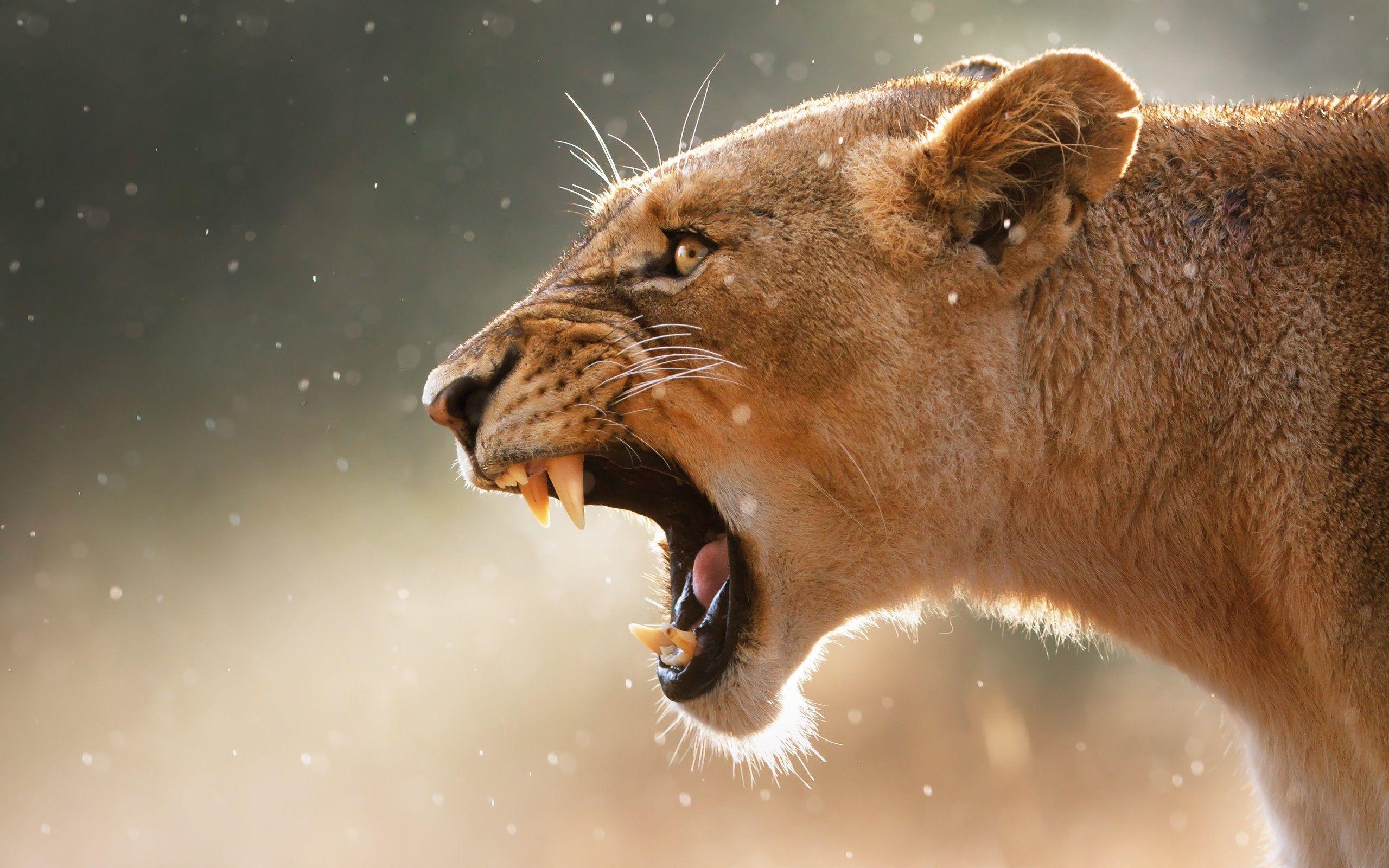 Lioness Wallpapers Wallpaper