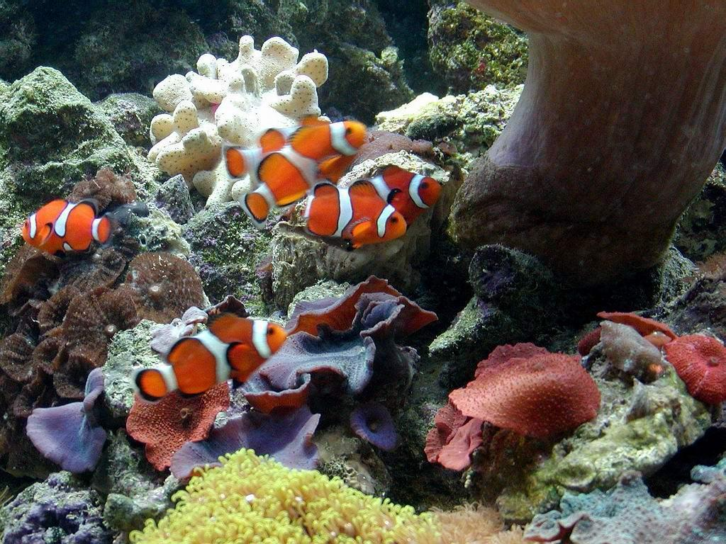 Wallpapers For > Clown Fish Wallpapers Hd