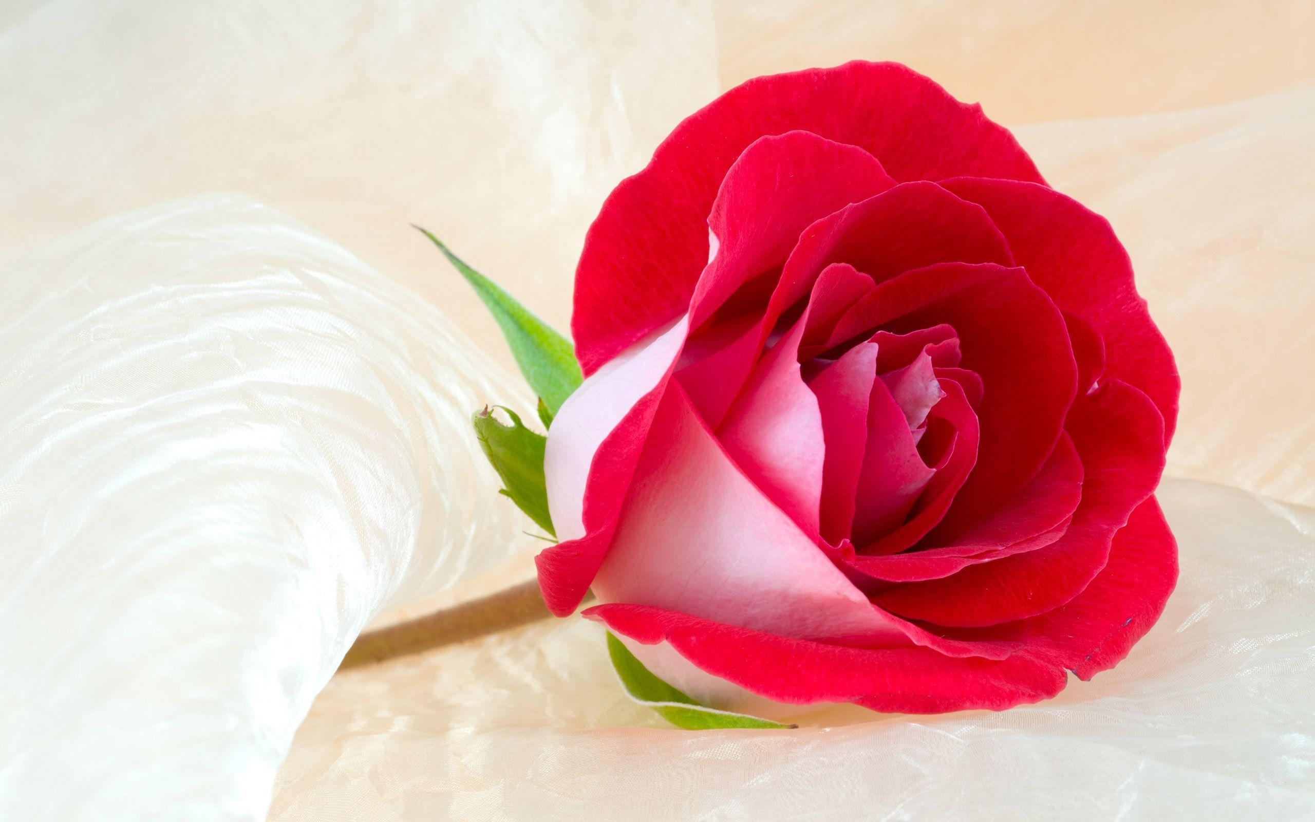 Wallpapers Flower Rose Love Wallpaper