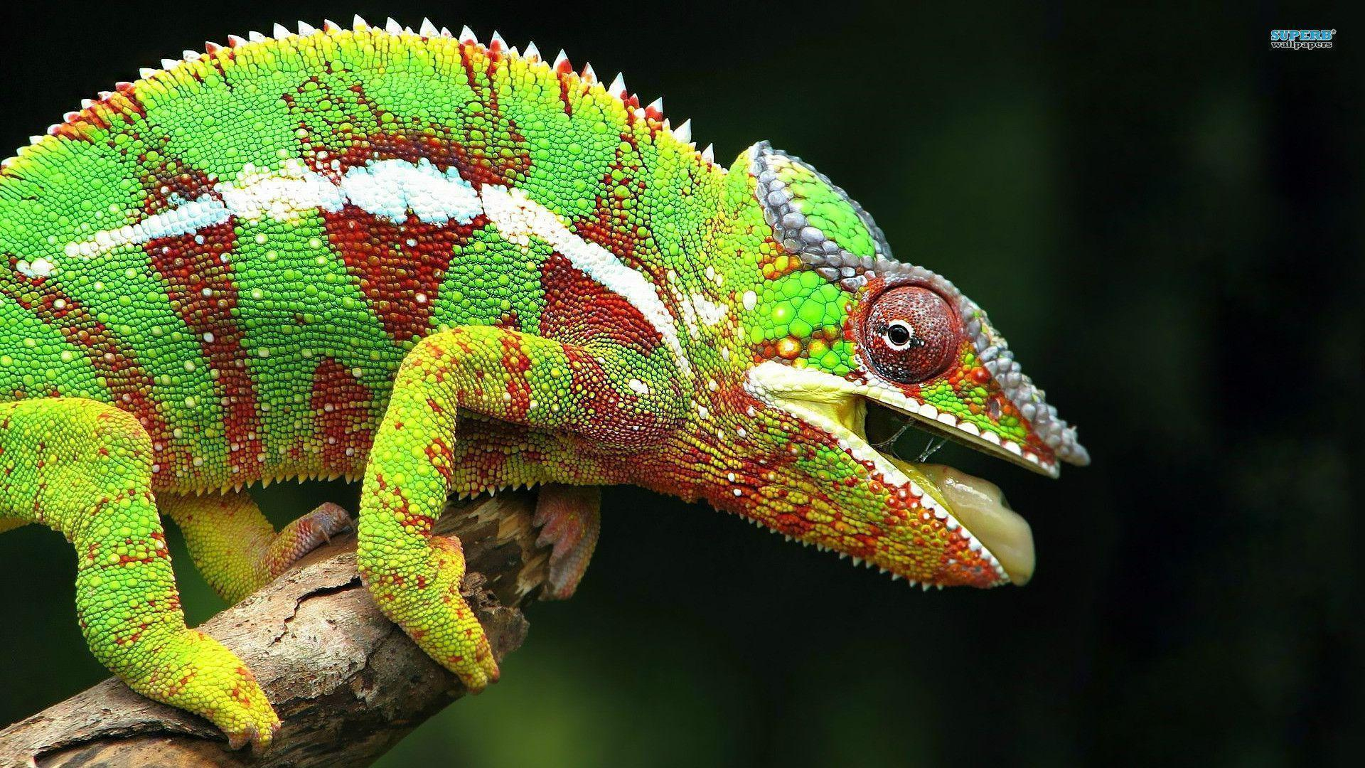 chameleon wallpaper 9661 - photo #14