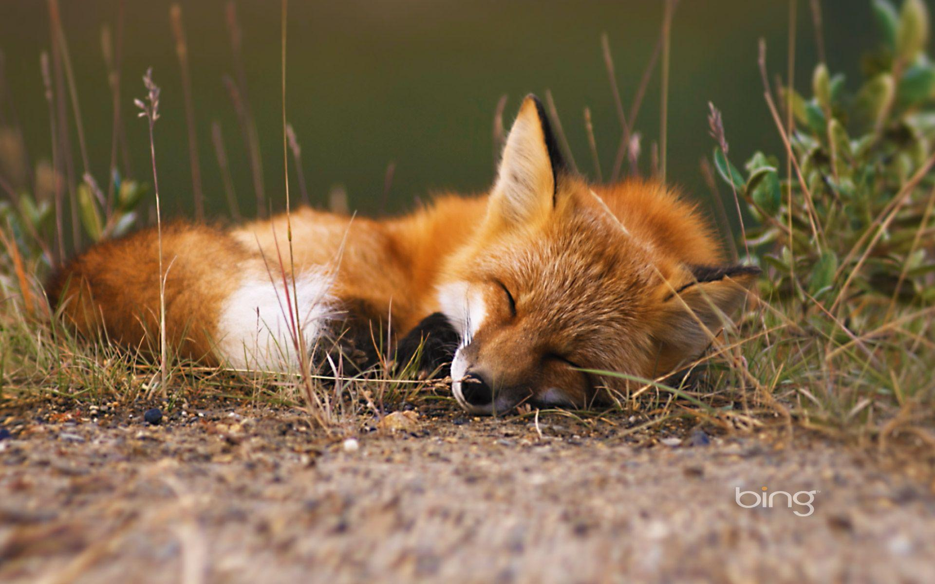 red fox hd wallpapers - photo #2