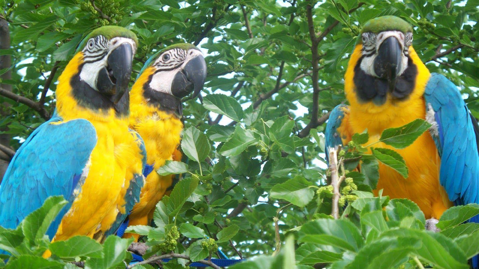 Macaw Parrot Wallpaper Download 1600×900 Wallpaper - Free Download ...