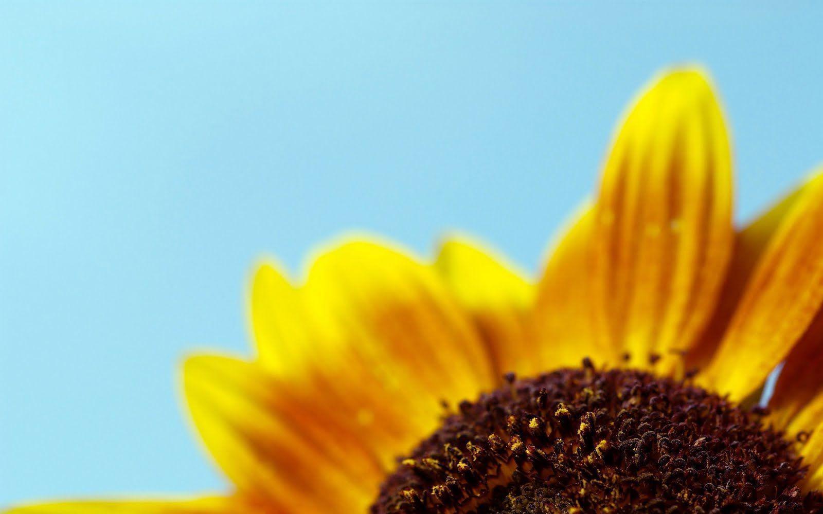 Sunflower Wallpapers Desktop