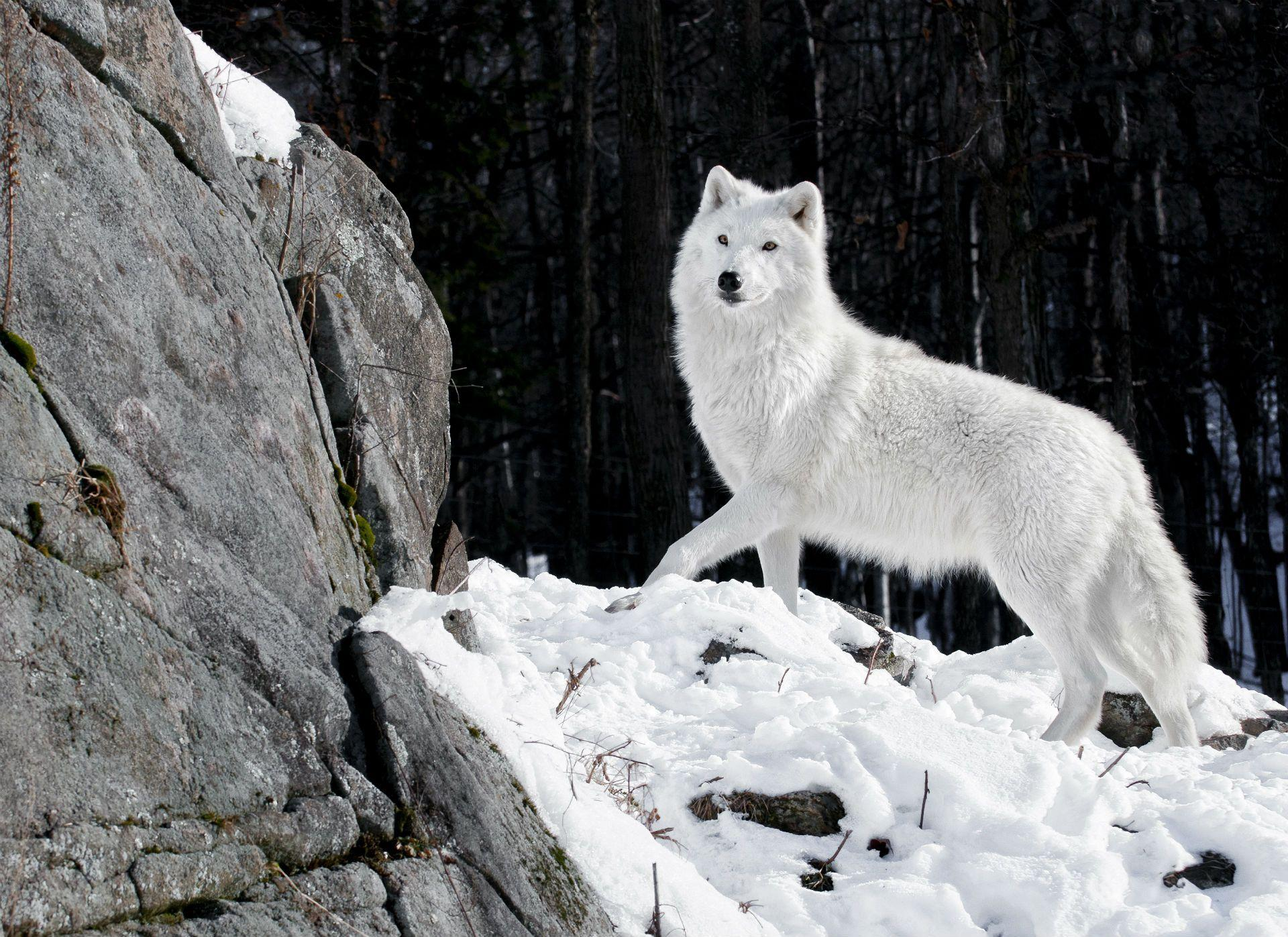 Image For > White Wolf Wallpapers Iphone