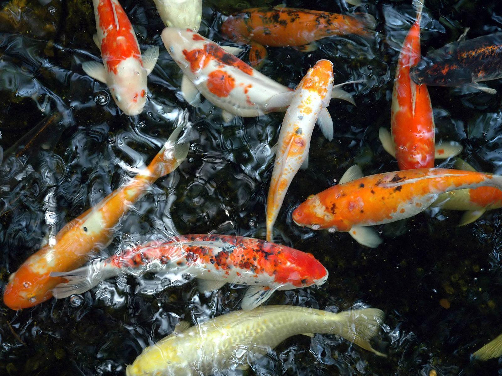 Koi Fish Wallpapers Wallpaper Cave