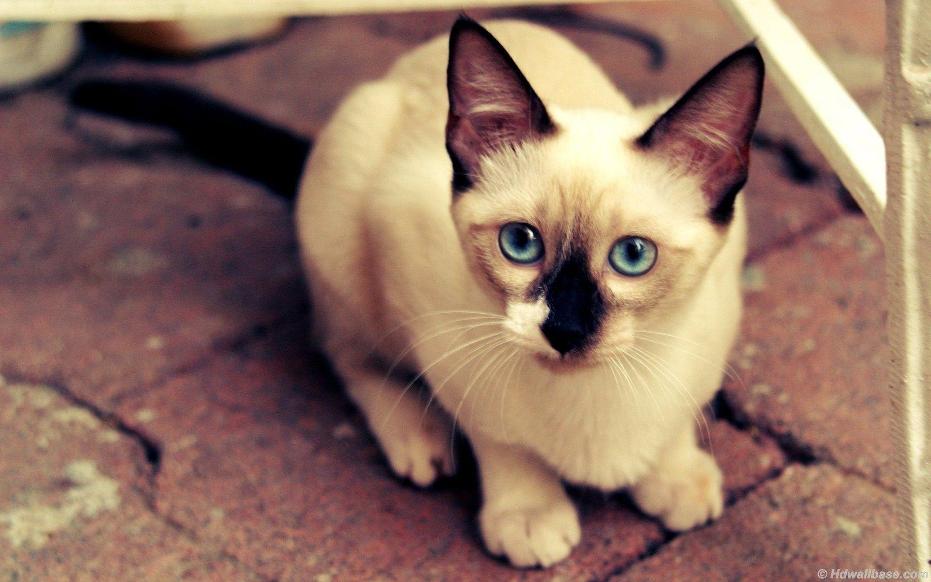 Blue Eyes Siamese Cat Wallpapers
