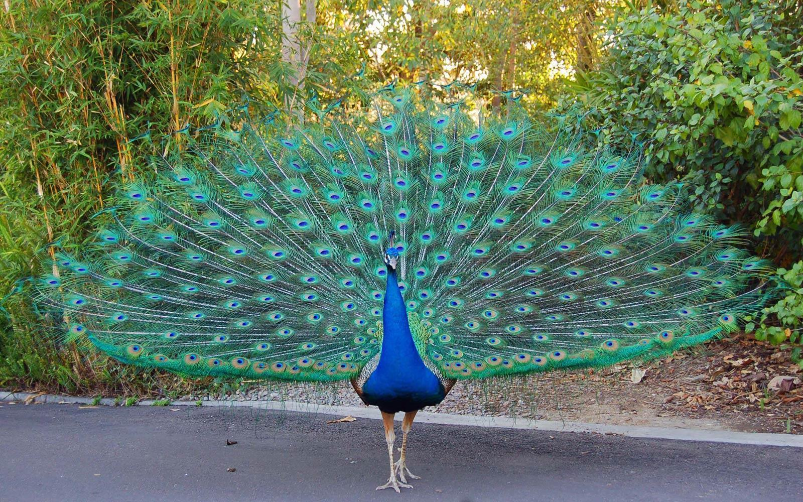 Image For > White Blue Peacock Wallpapers
