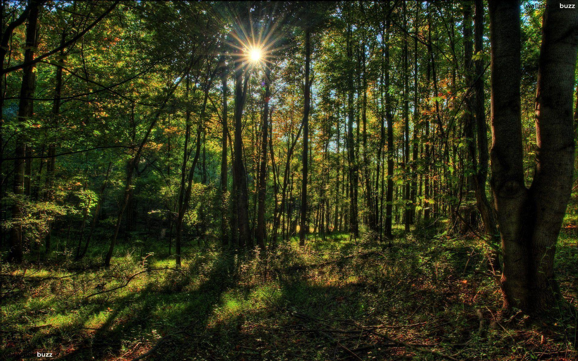 Sun in deep forest HD Wallpapers