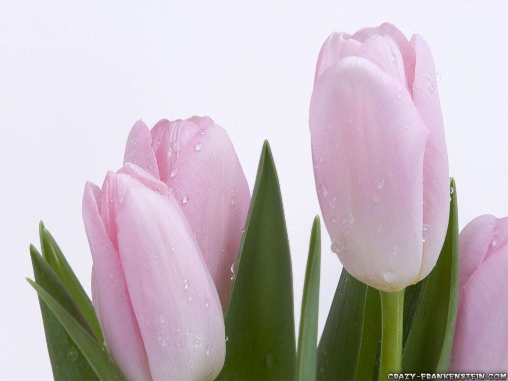light pink flower wallpaper - photo #13