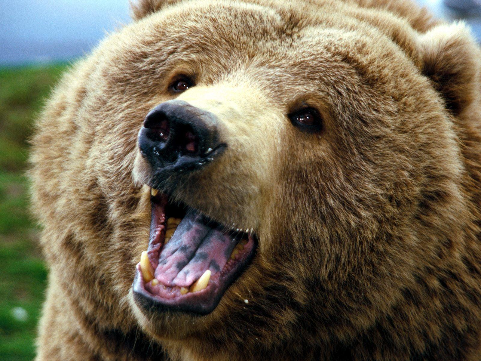Images For > Baby Grizzly Bear Wallpaper
