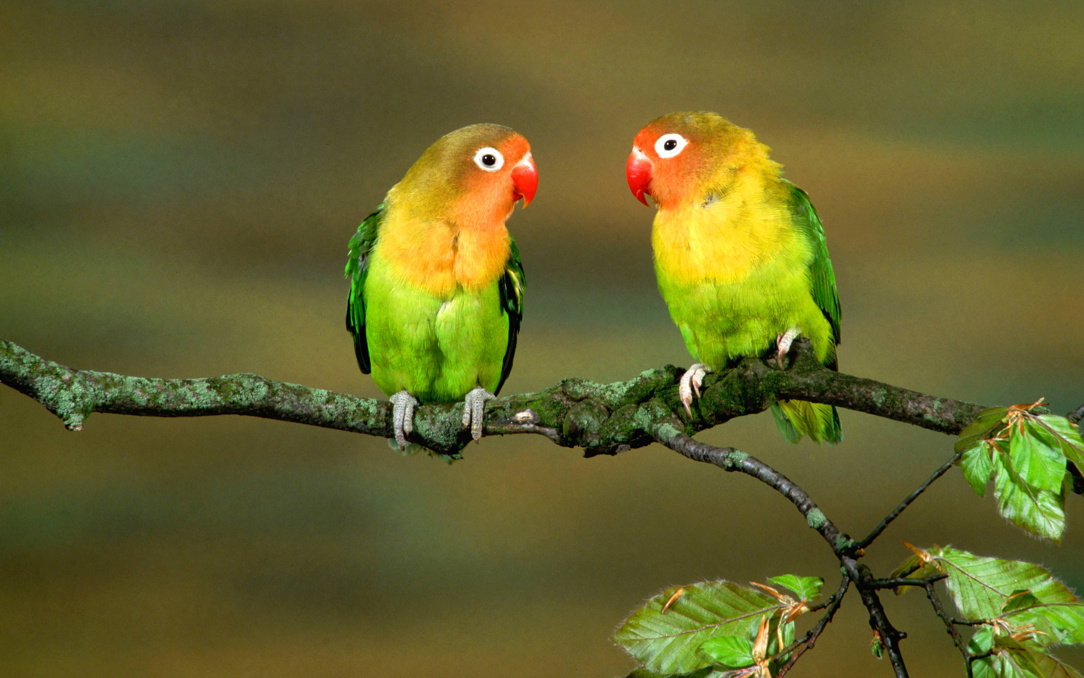 Love Birds couple Wallpaper : Parrot Wallpapers - Wallpaper cave