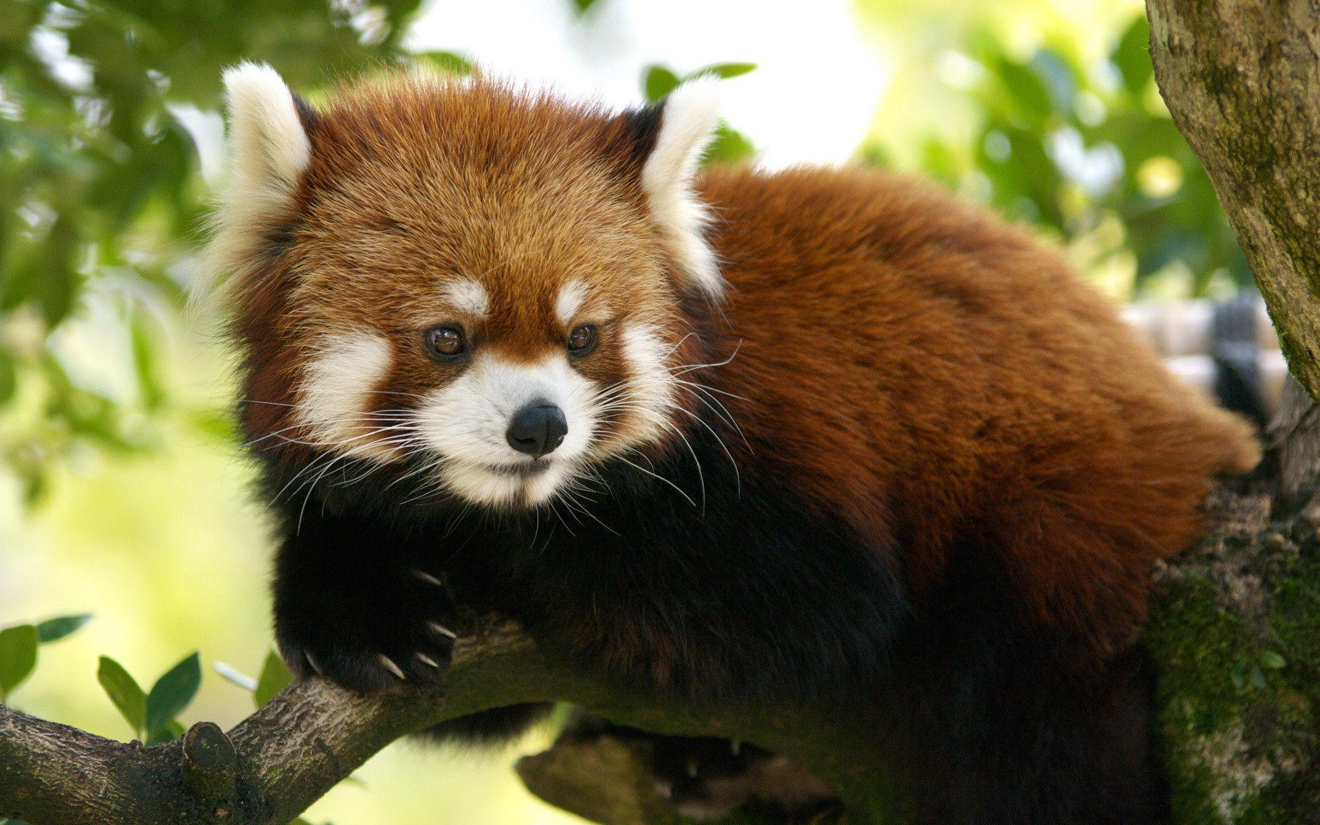 94 Red Panda Wallpapers | Red Panda Backgrounds Page 2