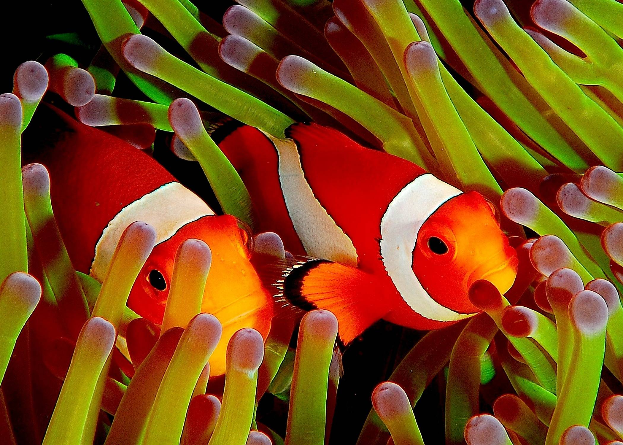 Cute Kittens Wallpapers Animals Wallpapers taken from Clown Fish