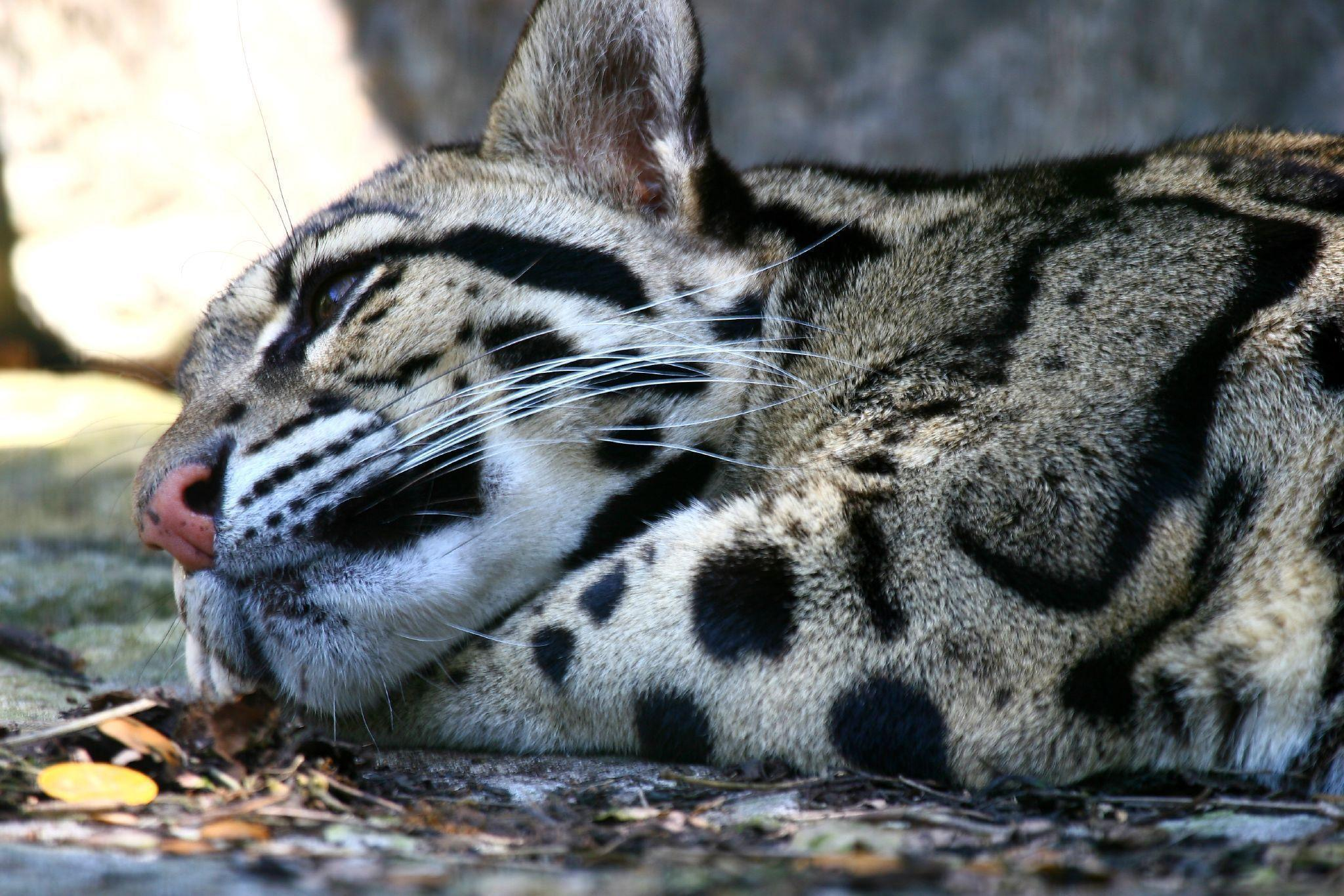 clouded leopard wallpaper - photo #16