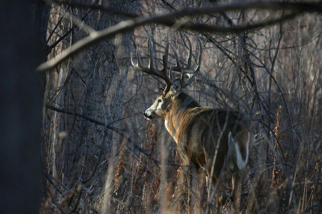 Whitetail buck wallpapers