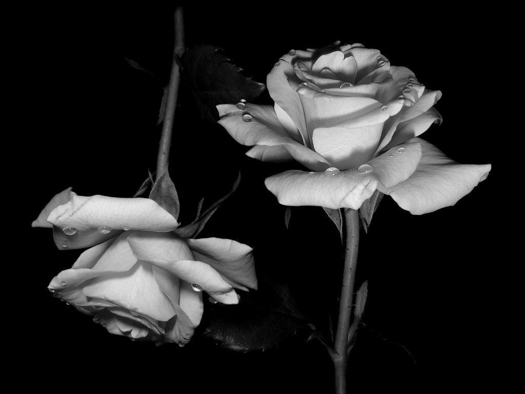 Black And White Rose Wallpapers