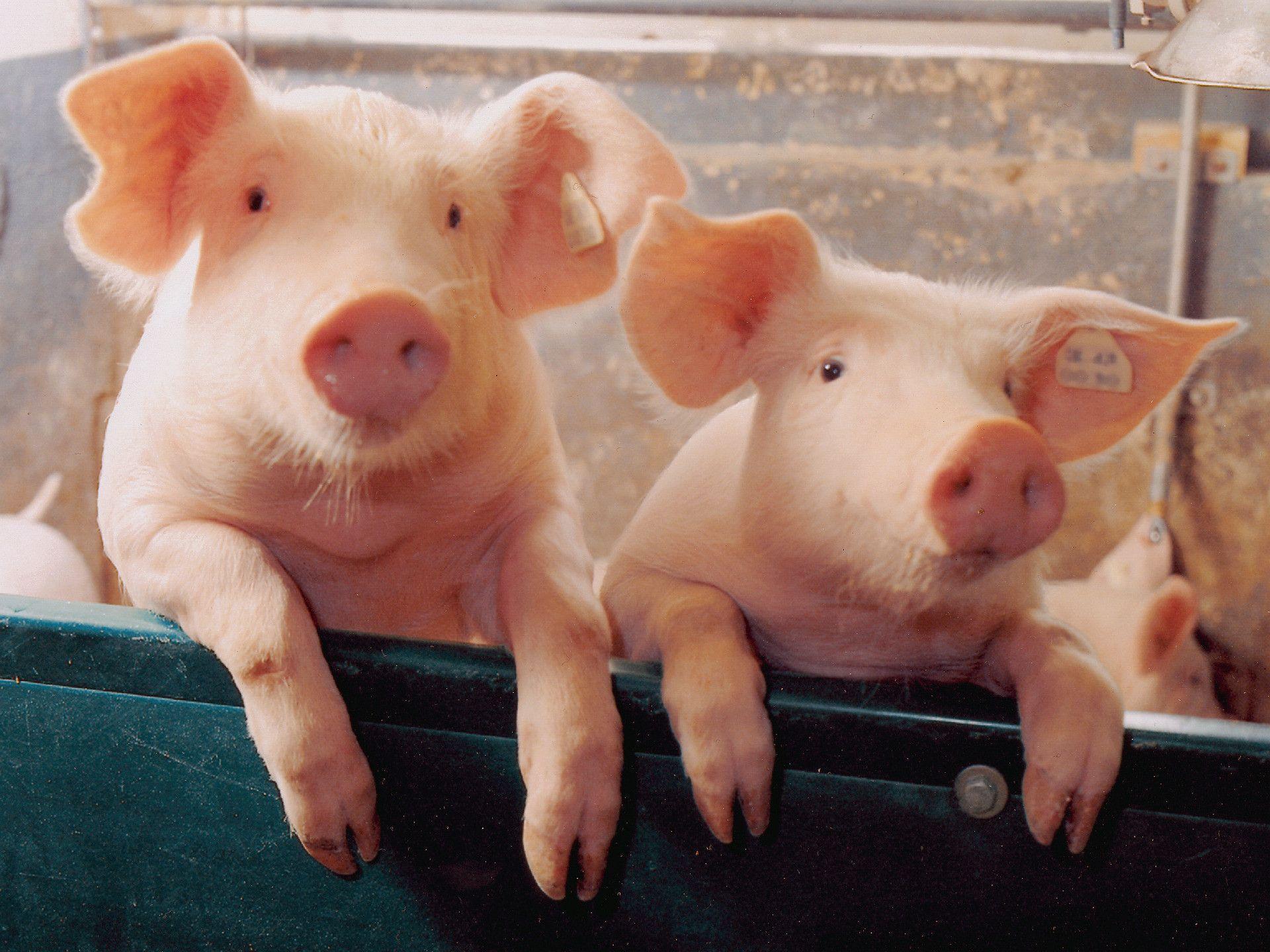 Two little Piggies - Pigs Wallpaper (1078267) - Fanpop