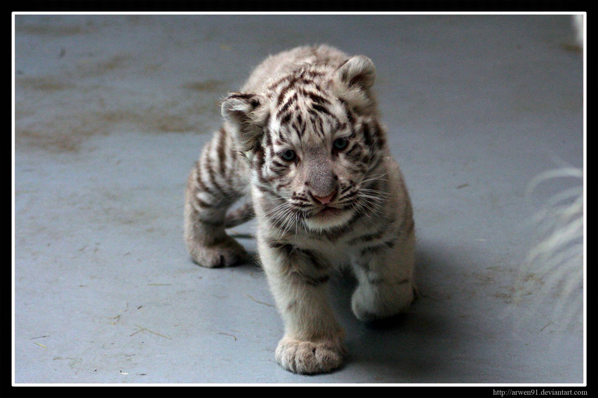 Baby White Tiger Wallpapers - Wallpaper Cave - photo#8