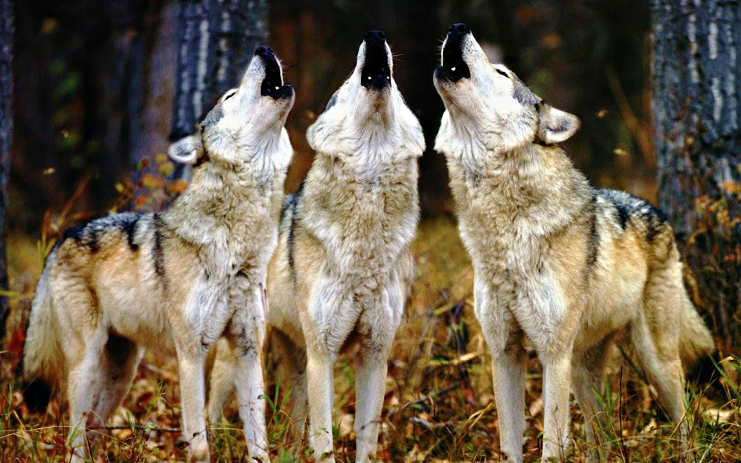 Wolf Pack Wallpapers Wallpaper Cave