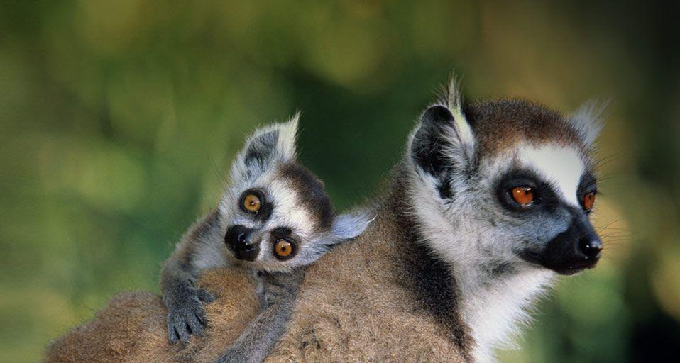 lemur wallpapers wallpaper cave