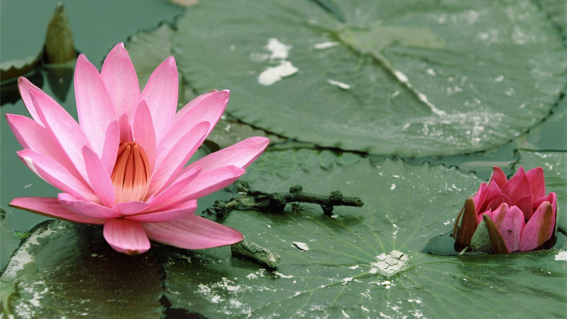 download 5d lotus flower - photo #11