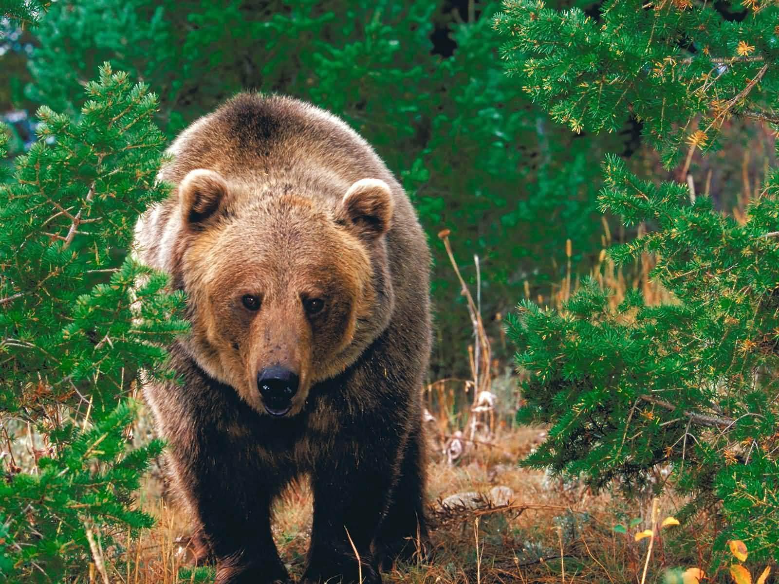 Bear Wallpapers   Bear Wallpapers - Part 2