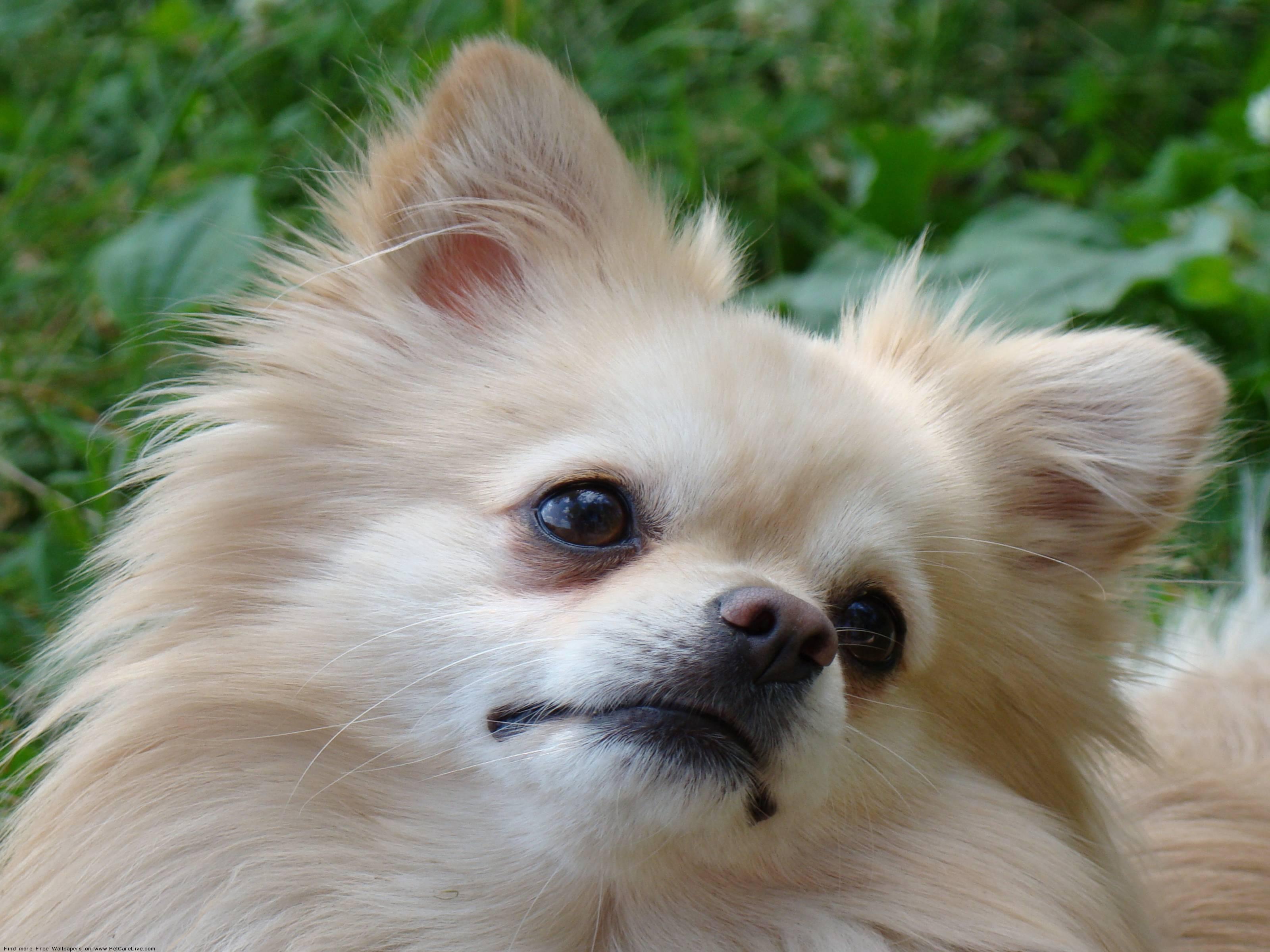free pomeranian puppy wallpaper - photo #14