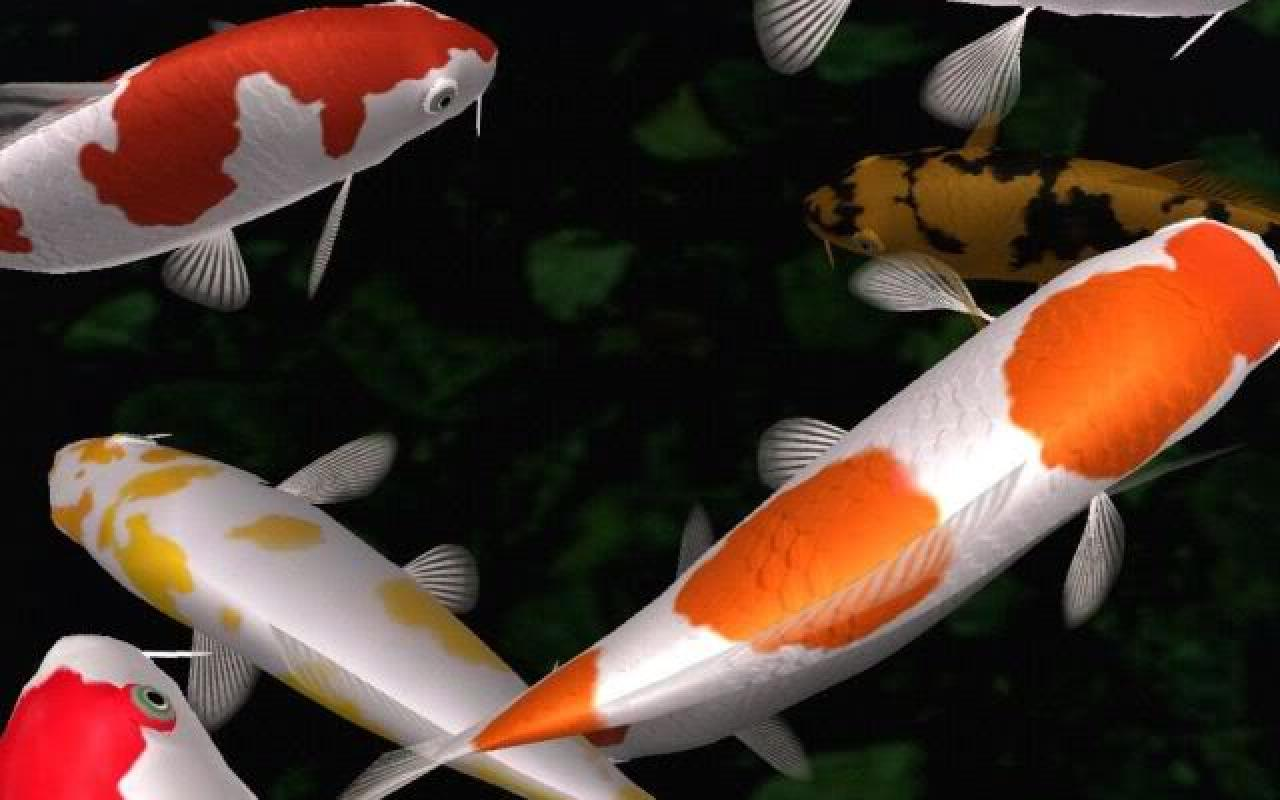 Koi fish wallpapers wallpaper cave for Koi pond fish