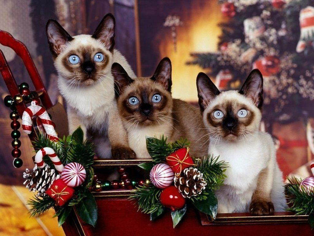 Pix For > Christmas Kitten Wallpaper