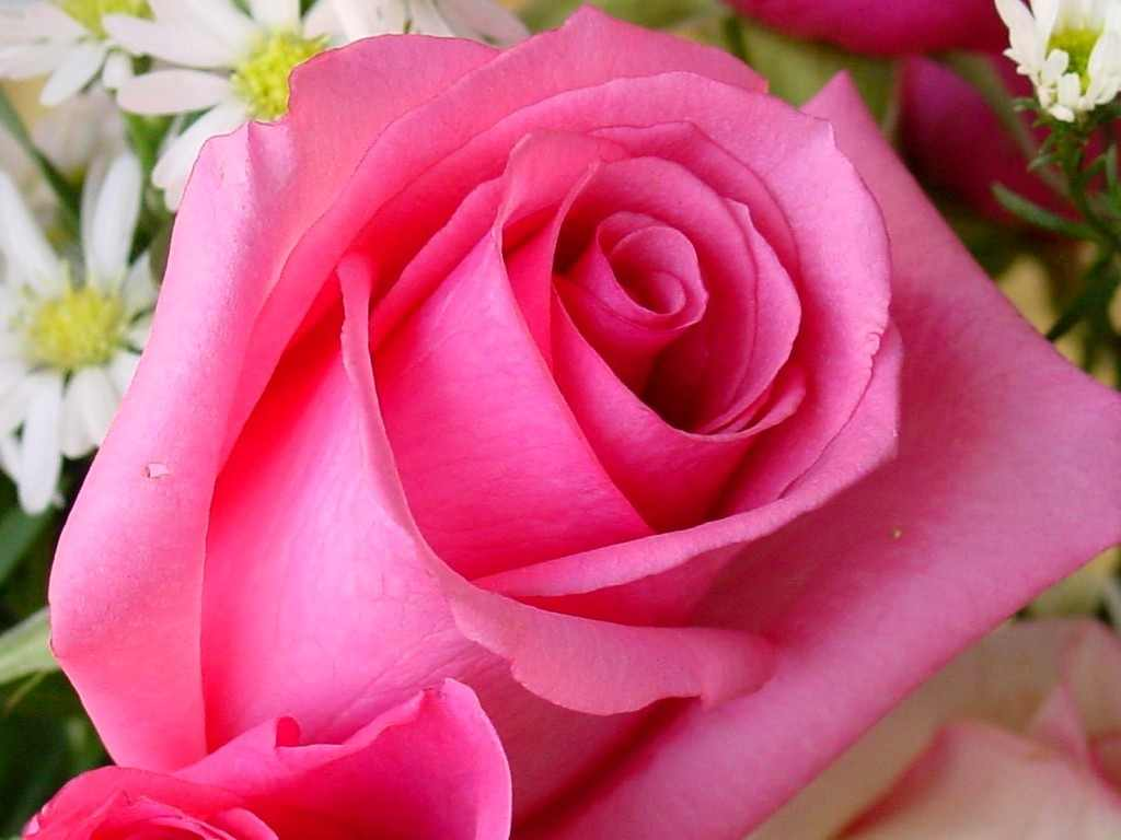 Pink Rose Flower Wallpapers