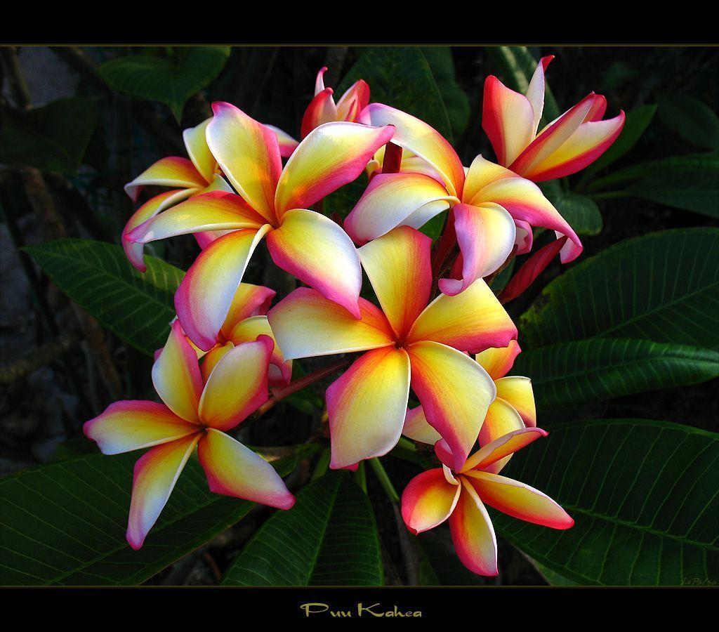 tropical flower wallpapers - photo #24