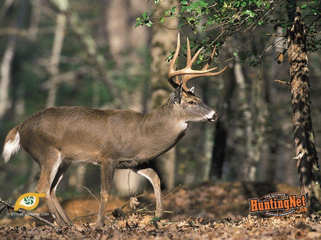 Whitetail Deer Desktop Backgrounds