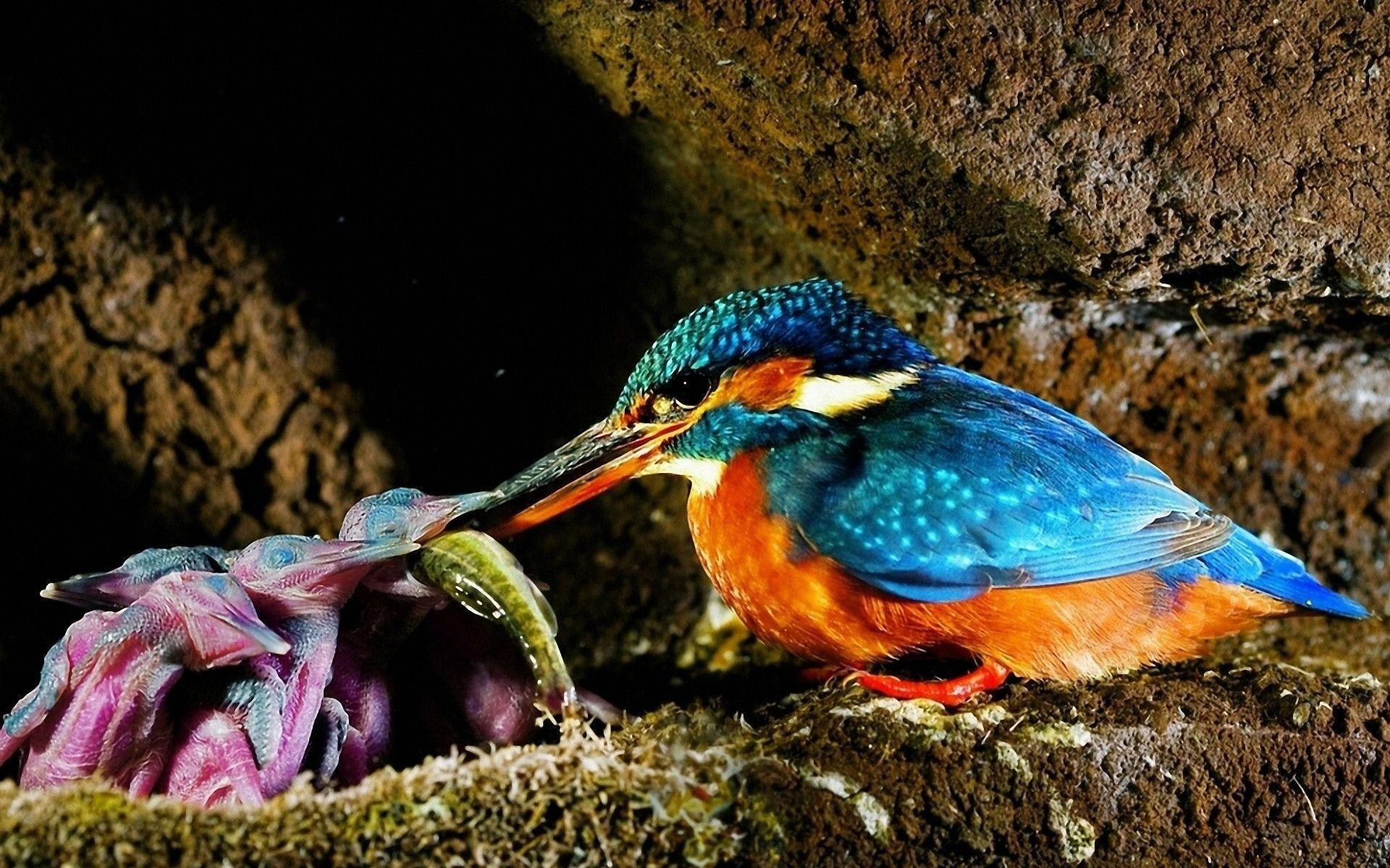 kingfisher wallpapers hd - photo #9