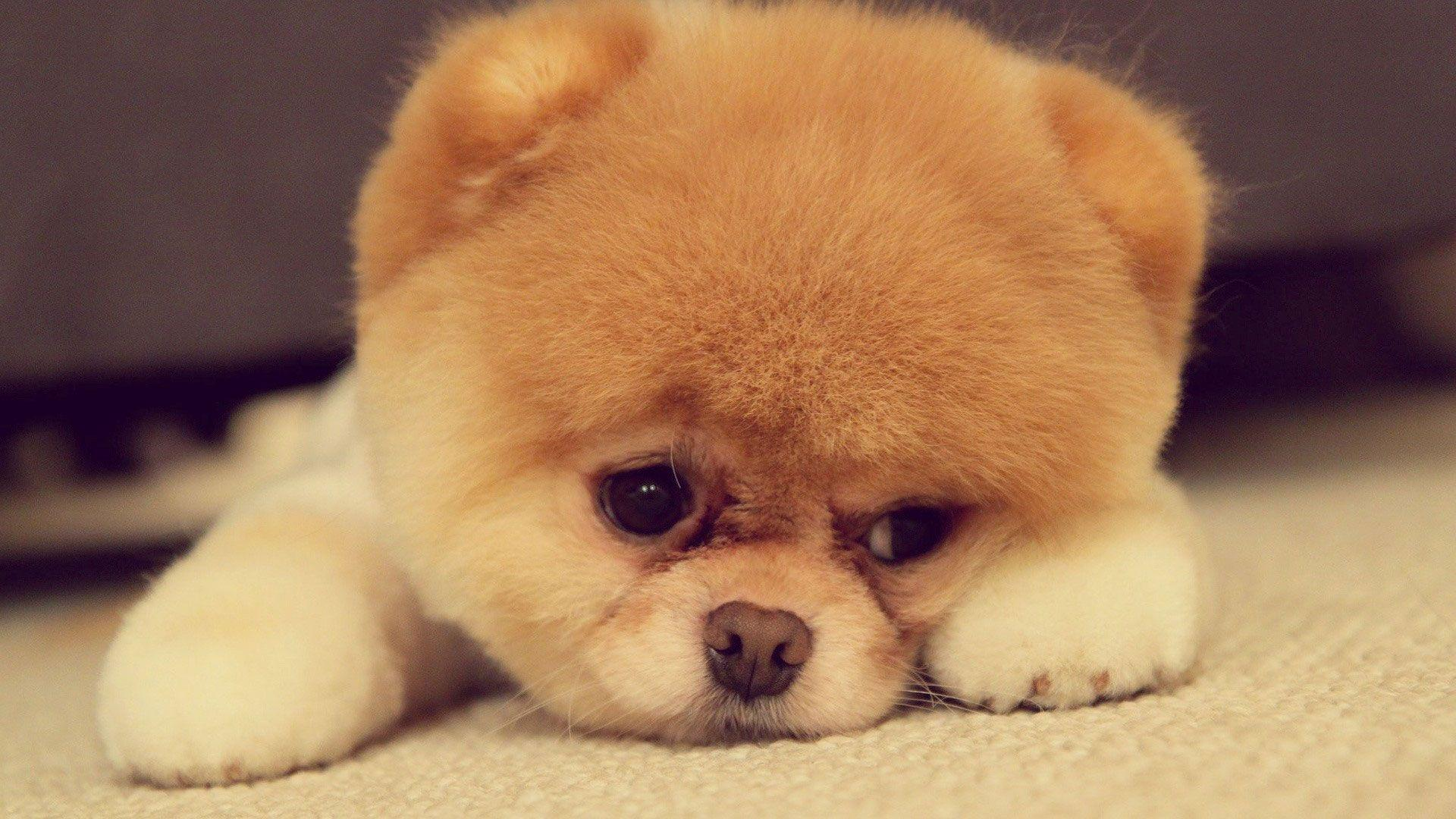 Cute Puppy Boo Wallpaper - MixHD wallpapers