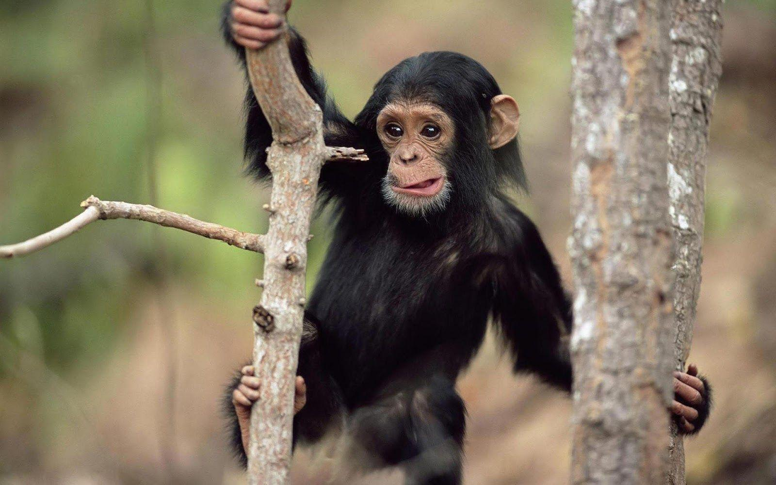 Monkey Wallpapers Pictures| HD Wallpapers ,Backgrounds ,Photos ...